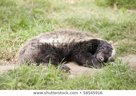 Afryki miodu borsuk Południowej Afryki zielone czarny Zdjęcia stock © compuinfoto