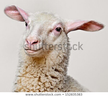 Retrato jóvenes ovejas blanco negro Foto stock © Kotenko