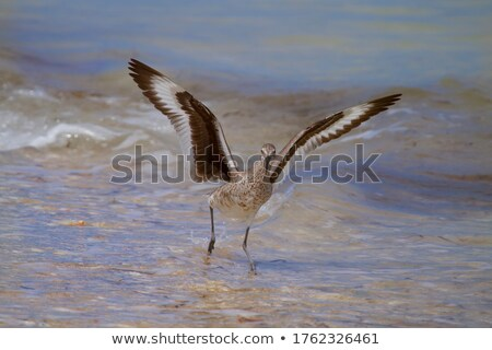 Willet Stock photo © craig
