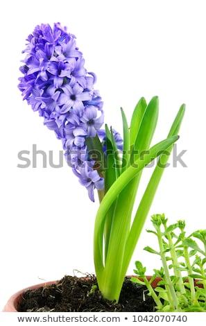 Sümbül taze çiçekler mavi yeşil yaprakları yalıtılmış Stok fotoğraf © neirfy