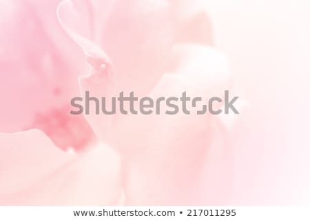 Pink roses on brown background Stock photo © furmanphoto
