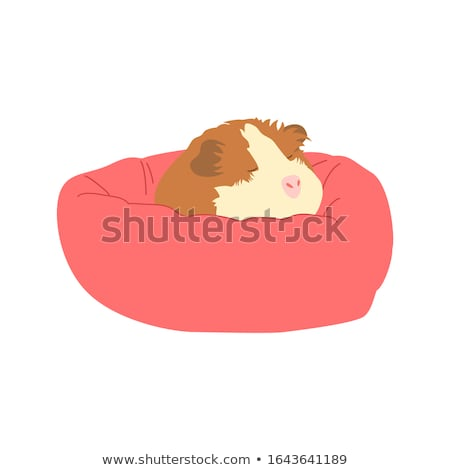 Cute friendly guinea pig icon isolated on white background, small fluffy rodent pet, vector illustra Stock photo © MarySan