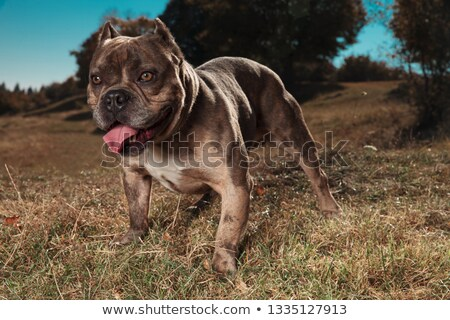 American bully panting and looking away outdoor Stock photo © feedough