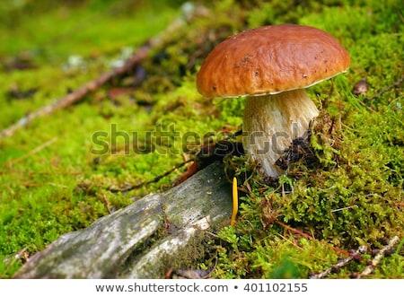 Nagy porcini gomba lombhullató moha ősz gombák Stock fotó © romvo