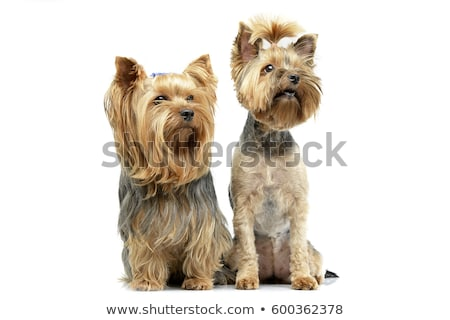 Studio shot of two adorable Yorkshire Terrier Stock photo © vauvau