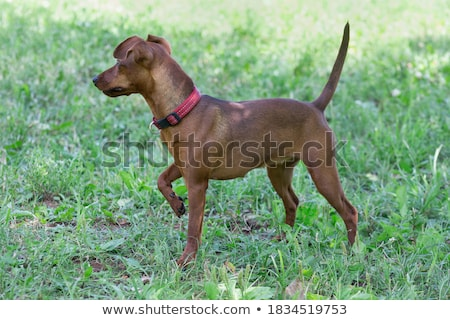 Zwergpinscher standing stock photo © vtls