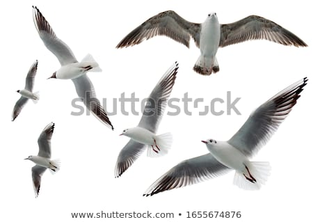 Seagull gliding in the wind Stock photo © duoduo