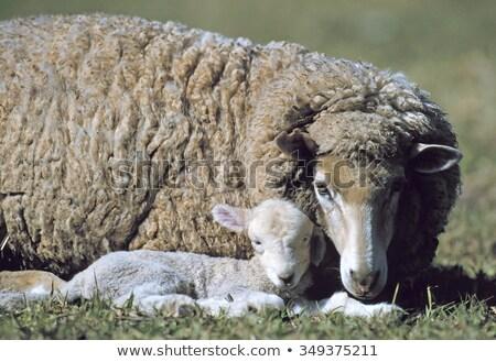 赤ちゃん · 子羊 · ファーム · 母親 · 羊 · 群れ - ストックフォト © godfer