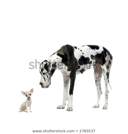 great dane harlequin and a chihuahua stock photo © eriklam