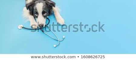 cão · perna · quebrada · amarelo · labrador · retriever · adormecido · médico - foto stock © simazoran