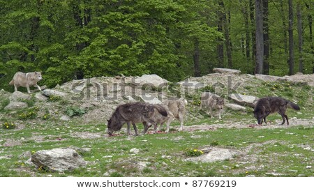 gray wolf in natural ambiance stock photo © prill
