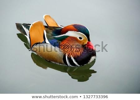 Masculino mandarim pato reflexão natureza pássaro Foto stock © suerob