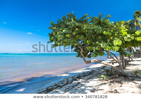 Caribbean Beach and Seagrape Trees Stock photo © mosnell