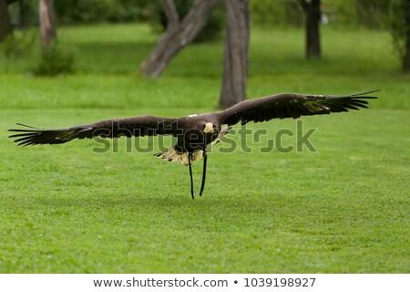 Big Sea Eagle Haliaeetus Albicill Zdjęcia stock © Artush
