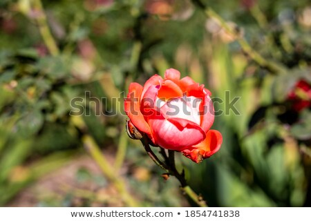 красную · розу · макроса · внутри · красный · красивой - Сток-фото © smithore