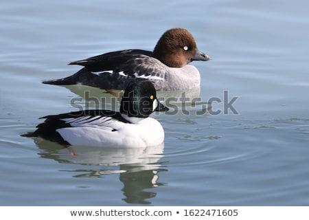 Black White Goldeneye Duck Stock photo © billperry