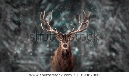 Fenséges szarvas portré erőteljes felnőtt piros Stock fotó © vwalakte