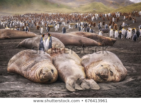 elephant seals 2 stock photo © teamc