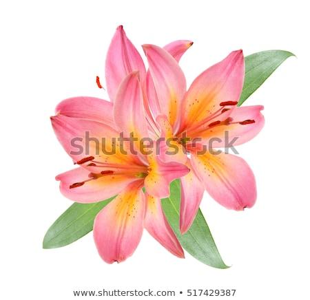 belo · rosa · lírio · jardim · flor - foto stock © tetkoren