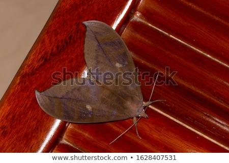 Brown Moth Stock photo © derocz