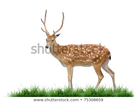 sika deer with green grass isolated stock photo © anan