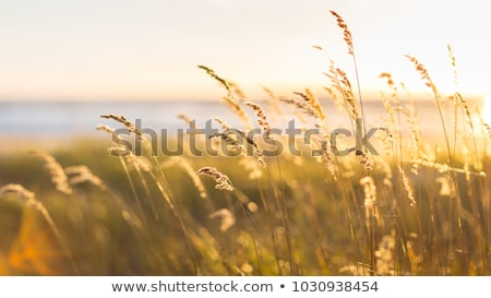 Sunset in the reeds Stock photo © michaklootwijk