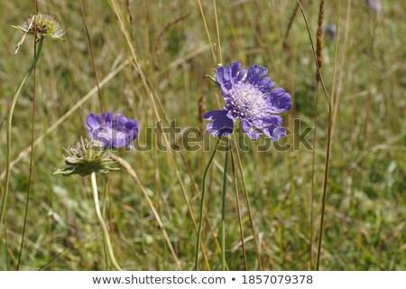 mountain cornflower stock photo © elenarts
