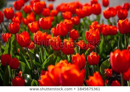 friss · tulipánok · nyár · nap · virágok · boldog - stock fotó © oleksandro