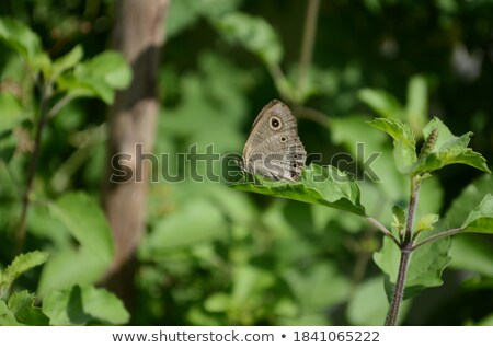 Ypthima baldus baldus or Common Five Ring butterfly Stock photo © Yongkiet