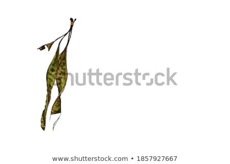 Ehető bab trópusi fehér gyümölcs zöld Stock fotó © dezign56