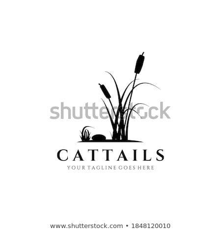 Typha latifolia, bulrush in the lake Stock photo © Julietphotography