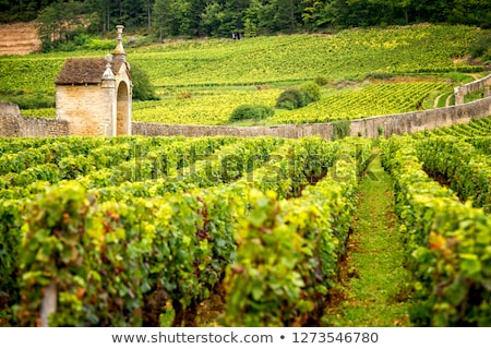 Vineyard In Burgundy Stock photo © searagen