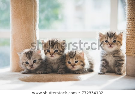 子猫 · 白 · 猫 · グループ · スタジオ · ペット - ストックフォト © cynoclub