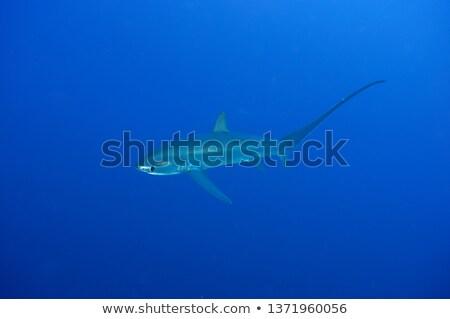 Fox Diver Stock photo © derocz