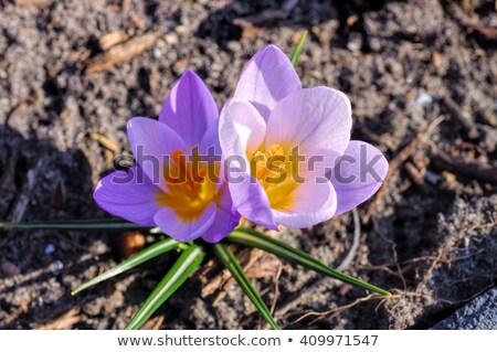 Crocus luciole fleur herbe jardin hiver Photo stock © LianeM
