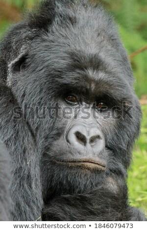 Stok fotoğraf: Goril · yaşayan · orman · örnek · manzara · arka · plan