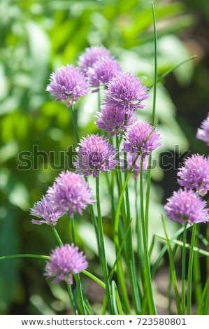 Blooming chive Stock photo © Saphira