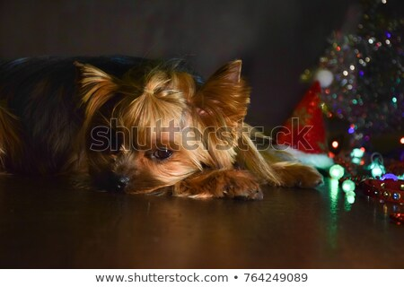 Stock photo: cute Yorkshire Terrier relaxing in a shiny floor