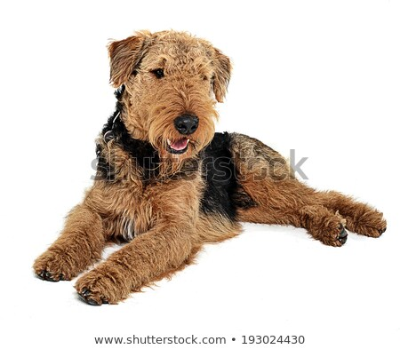 airedale terrier relaxing on the white studio floor stock photo © vauvau