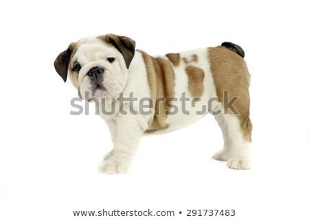 Puppy bulldog baby standard in white studio stock photo © vauvau