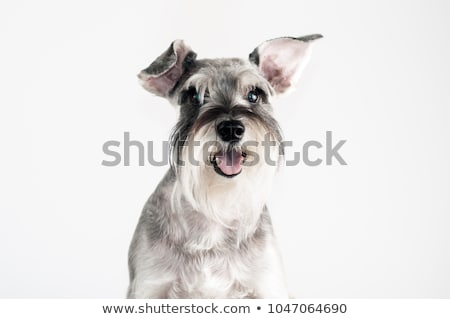 puppy schnauzer portrait in white studio stock photo © vauvau