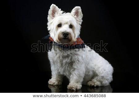 west highland white terrier posing in a dark photo studio stock photo © vauvau