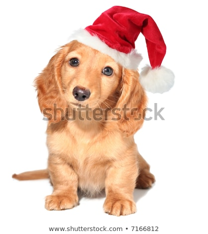 adorable small brown dog wearing santa hat sitting Stock photo © feedough