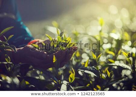 women hand finger picking up tea leaves at a tea plantation for product natural selected fresh t stock photo © galitskaya