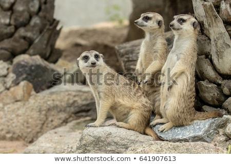 three suricates or meerkats stock photo © 5xinc