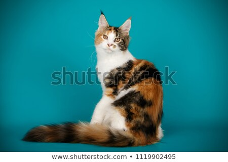 Beautiful black smoke tortie Maine Coon cat girl, isolated on white background. stock photo © CatchyImages
