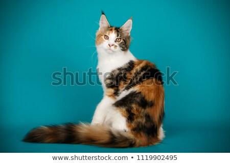 美しい 黒 煙 メイン州 猫 少女 ストックフォト © CatchyImages