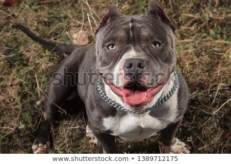 American bully sitting in a field while panting Stock photo © feedough