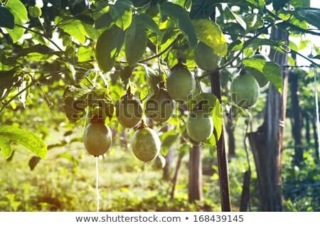 Passie vruchten wijnstok selectieve aandacht boom Stockfoto © galitskaya