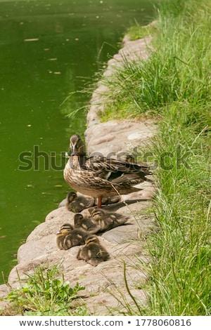 multiple ducks in the grass stock photo © toyotoyo